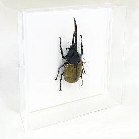 虫の標本 ヘラクレスオオカブトムシ アクリルフレーム 透明