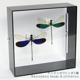 昆虫標本 ケンランカワトンボ 2頭 アクリルフレーム 黒