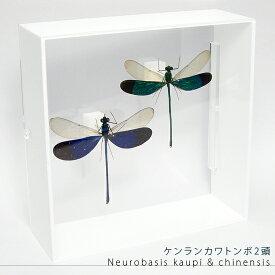 虫の標本 ケンランカワトンボ 2頭 アクリルフレーム 白