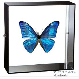 蝶の標本 アドニスモルフォ アクリルフレーム 黒