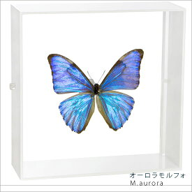 蝶の標本 オーロラモルフォ アクリルフレーム 白