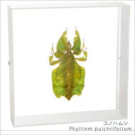 昆虫標本 コノハムシ アクリルフレーム 白
