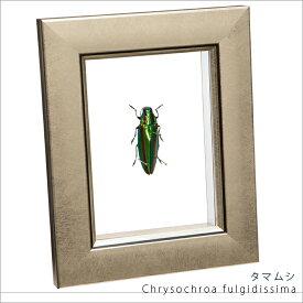 昆虫標本 タマムシ メタリック調ライトフレーム