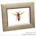 虫の標本 オオスズメバチ ライトフレーム メタリック調 額 インテリア 自然 ネイチャー 置物 オブジェ 【送料無料】