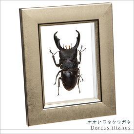 虫の標本 オオヒラタクワガタ メタリック調ライトフレーム