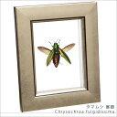 虫の標本 タマムシ展翅 ライトフレーム メタリック調 額 インテリア 自然 ネイチャー 置物 オブジェ 【送料無料】
