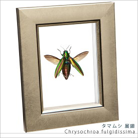 昆虫標本 タマムシ展翅 メタリック調ライトフレーム