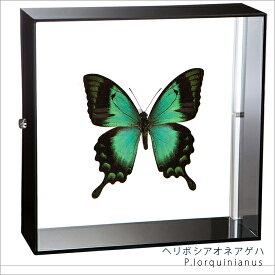 蝶の標本 ヘリボシアオネアゲハ アクリルフレーム 黒