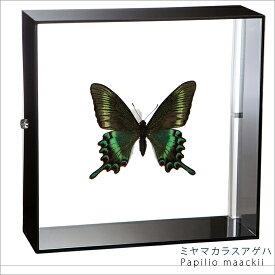 蝶の標本 ミヤマカラスアゲハ アクリルフレーム 黒