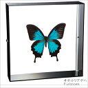 蝶の標本 オオルリアゲハ アゲハチョウ アクリルフレーム 黒 インテリア 自然 ネイチャー オブジェ