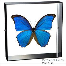 蝶の標本 ディディウスモルフォ アクリルフレーム 黒