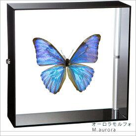 蝶の標本 オーロラモルフォ アクリルフレーム 黒