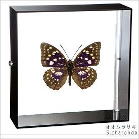 蝶の標本 オオムラサキ アクリルフレーム 黒