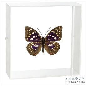 昆虫標本 蝶の標本 オオムラサキ アクリルフレーム 白
