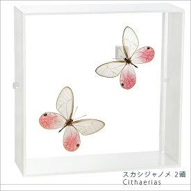 昆虫標本 蝶の標本 スカシジャノメ 2頭 アクリルフレーム 白