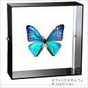 蝶の標本 ゼフィリテスモルフォ アクリルフレーム 黒