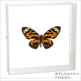 蝶の標本 ザグレウスアゲハ アクリルフレーム 白