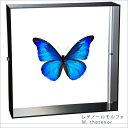 昆虫標本 蝶の標本 レテノールモルフォ アクリルフレーム 黒
