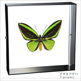 蝶の標本 メガネアゲハ アクリルフレーム 黒