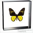 蝶の標本 アンフリサスキシタアゲハ アクリルフレーム 黒