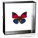 蝶の標本 クラウディナミイロタテハ アクリルフレーム 黒