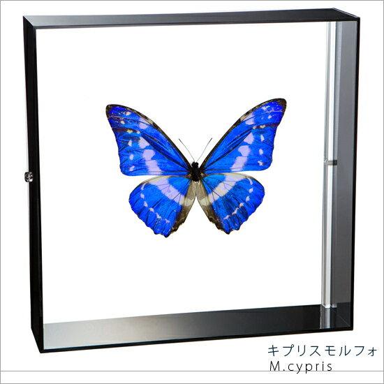 蝶の標本 キプリスモルフォ モルフォチョウ アクリルフレーム 黒