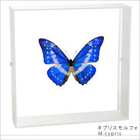 蝶の標本 キプリスモルフォ アクリルフレーム 白