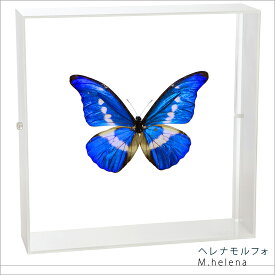 昆虫標本 蝶の標本 ヘレナモルフォ アクリルフレーム 白