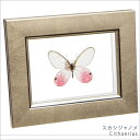 蝶の標本 スカシジャノメ メタリック調ライトフレーム