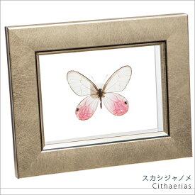 昆虫標本 蝶の標本 スカシジャノメ メタリック調ライトフレーム