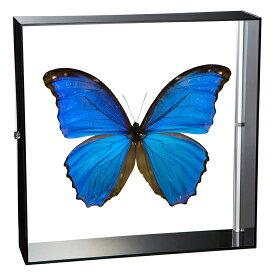 昆虫標本 蝶の標本 ディディウスモルフォ アクリルフレーム 黒