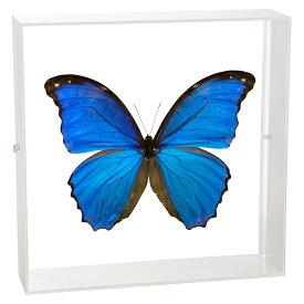 昆虫標本 蝶の標本 ディディウスモルフォ アクリルフレーム 白