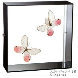 昆虫標本 蝶の標本 スカシジャノメ 2頭 アクリルフレーム 黒