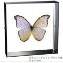蝶の標本 ゴダルティモルフォ ボリビア産 アクリルフレーム 黒