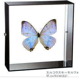 昆虫標本 蝶の標本 スルコウスキーモルフォ アクリルフレーム 黒