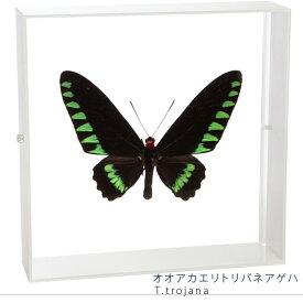 蝶の標本 オオアカエリトリバネアゲハ アクリルフレーム 白
