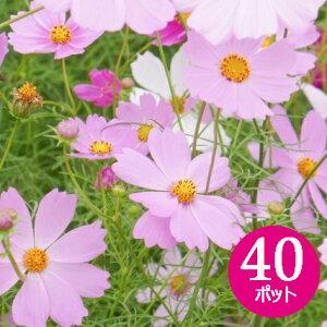 花苗 コスモス カラーミックス 40個 (3寸) セット 秋桜 ケース販売 秋の花[敬老の日ギフト]