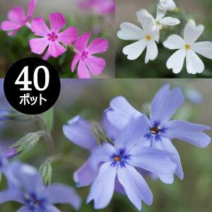花苗 芝桜 シバザクラ 秋植え 華やかカラーミックス 40個 セット (3寸、3号 9cmポット) しばざくら ケース販売