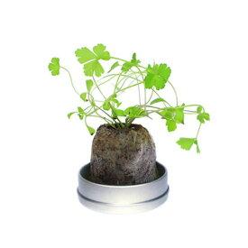 【3万円以上送料無料】DIY・工具・植物カテゴリのリトルハーブ(ミニ缶入り)(イタリアンパセリ) まとめ買い/まとめ売り/卸売り