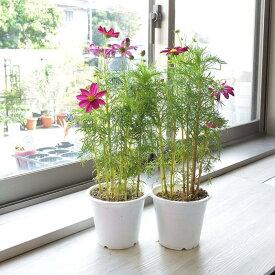 鉢花 秋桜 コスモス 2鉢セット 5寸プラスチック鉢