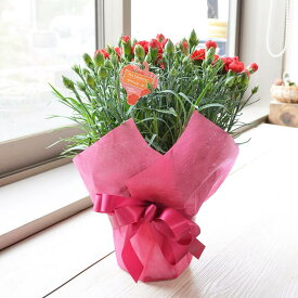 【母の日ごめんね5月10日以降着】5寸鉢カーネーション 色おまかせ ラッピング済 花 ギフト 母の日 贈り物 プレゼント 母の日のプレゼント