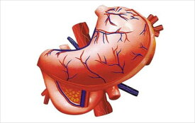 アオシマ 立体パズル 4D VISION 人体解剖 胃解剖モデル