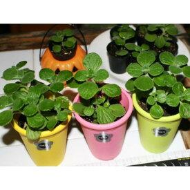 ミニ観葉アロマティカ3ポットセット★香るハーブ系観葉植物をお部屋に♪