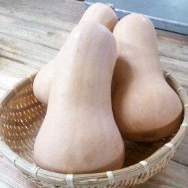 『バターナッツかぼちゃ』 野菜 季節物 三浦野菜 直販 JGAP取得 ジェイギャップ 減農薬 ギフトに人気