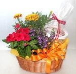 【鉢花】【キャラメルポップコーン】花鉢とスイーツ