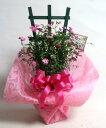 【母の日-あす楽】花鉢 ミニバラのフェンス仕立て【限定付送料無料】バラ ミニチュア系ツルバラ須磨