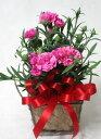 【母の日】さりげないミニカーネーションギフト【鉢花】