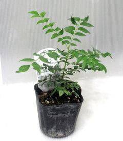 カレーノキ カレーリーフツリー 野菜苗 鉢花 ポット苗 あす楽 カレーの木