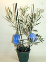 オリーブの木  ピクアールとシプレシーノ  鉢花 観葉植物 あす楽対応