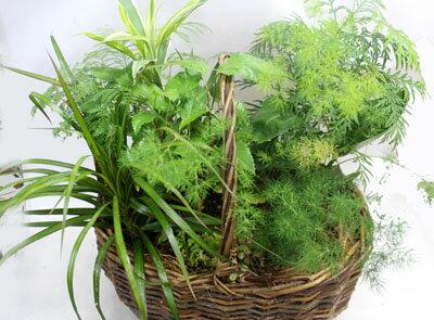観葉植物の寄せ植え【あす楽】【鉢花】【観葉植物】